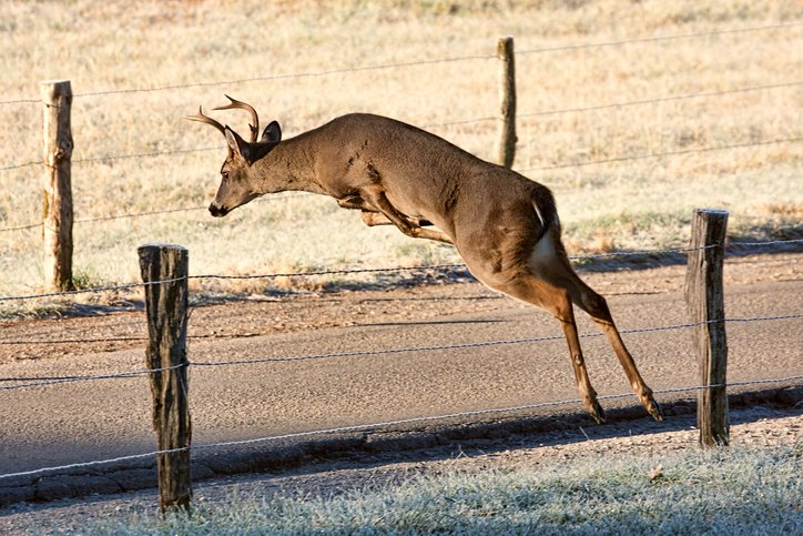 Whitetail deer jumping over fence.