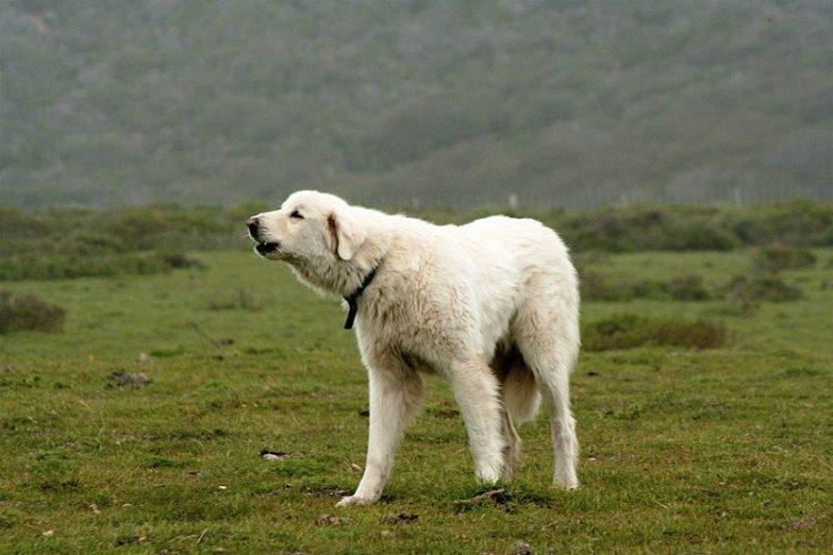 akbash_dog